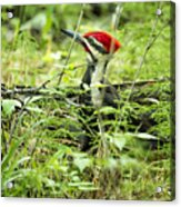 Pileated Woodpecker On The Ground No. 1 Acrylic Print