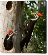 Pileated Woodpecker Ready To Fledge Acrylic Print