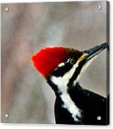 Pileated Woodpecker Up Close Acrylic Print