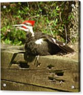 Pileated Woodpecker1 Acrylic Print
