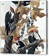 Pileated Woodpeckers Acrylic Print