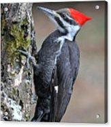 Pileated Woopecker  Female Acrylic Print
