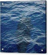 Pilot Whale 8  Acrylic Print