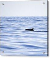 Pilot Whales 2 Acrylic Print