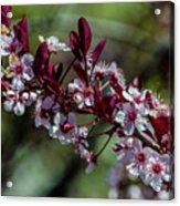 Pin Cherry Blossoms Acrylic Print