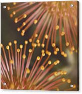 Pin Cushion Protea Acrylic Print