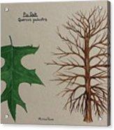 Pin Oak Tree Id Acrylic Print