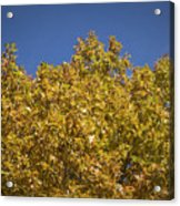 Pin Oaks In The Fall No 2 Acrylic Print