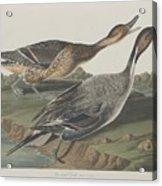 Pin-tailed Duck Acrylic Print