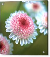 Pincushion Flowers Acrylic Print
