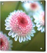 Pincushion Flowers Acrylic Print by Kathy Yates
