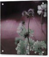 Pincushion Pink Invasion  Acrylic Print