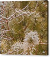 Pine And Bitter Sweet Vine Acrylic Print