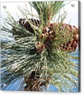Pine Cones Over Lake Tahoe Acrylic Print