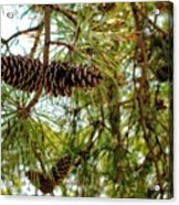Pine Cones Acrylic Print