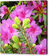 Pine Conifer Art Print Pink Azaleas Flower Garden Baslee Troutman Acrylic Print