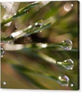Pine Drops Acrylic Print