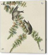 Pine Finch Acrylic Print