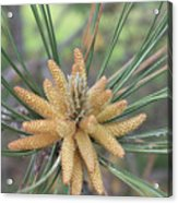Pine Flower In Summer  Close Up Acrylic Print