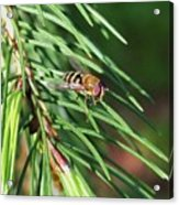 Pine Fresh Acrylic Print