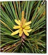 Pine In Bloom Acrylic Print
