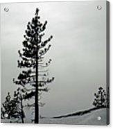 Pine In Snow Acrylic Print