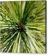 Pine Needles Acrylic Print