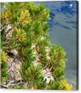 Pine Needles Over Water Acrylic Print