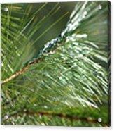 Pine Needles Series 1 Acrylic Print