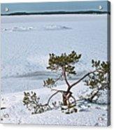 Pine On A Rock Acrylic Print
