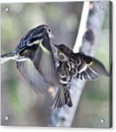 Pine Siskins Fighting 6829 Acrylic Print