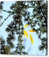 Pine Tree Art Prints Blue Sky Yellow Fall Leaves Acrylic Print