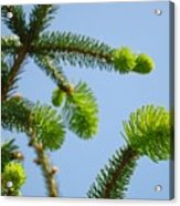 Pine Tree Branches Art Prints Blue Sky Botanical Baslee Troutman Acrylic Print