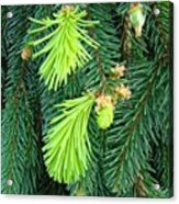 Pine Tree Branches Art Prints Conifer Forest Baslee Troutman Acrylic Print