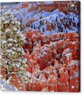 Pine Tree In Bryce Canyon Acrylic Print