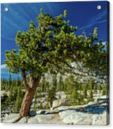 Pine Tree In Yosemite Acrylic Print