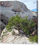Pine Tree On Top Of Angels Landing In Zion Acrylic Print