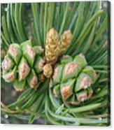 Pine Tree Seeds Acrylic Print