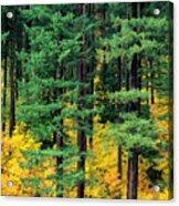 Pine Trees In Autumn Acrylic Print