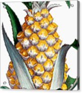 Pineapple, 1789 Acrylic Print
