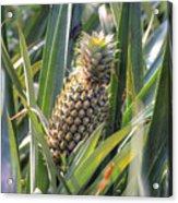 pineapple plantation in Kerala - India Acrylic Print