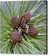 Pinecone Tull Acrylic Print