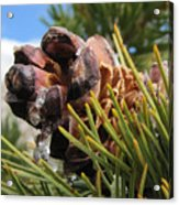 Pinecone With Dripping Sap  Acrylic Print