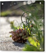 Pinecones And Wild Onions  Acrylic Print