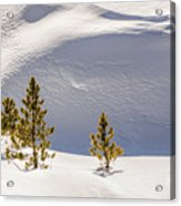 Pines In The Snow Drifts Acrylic Print