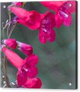 Pink 2 Acrylic Print