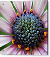 Pink African Daisy Detail Acrylic Print