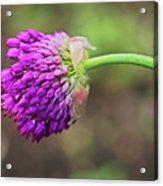 Pink Allium Acrylic Print