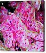 Pink Caladium Acrylic Print