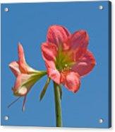 Pink Amaryllis Flowering In Spring Acrylic Print